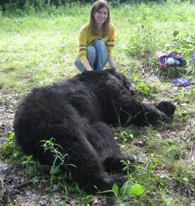 Field work with an anesthetized black bear.